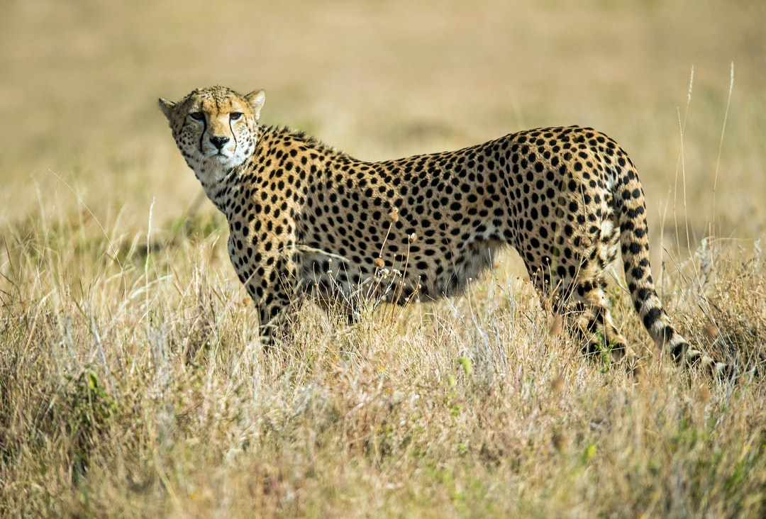 A leopard standing on a grassy field