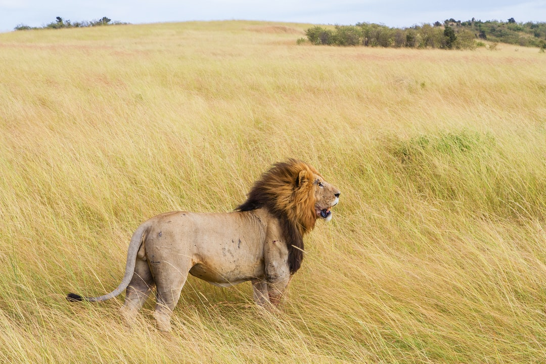 A lion walking in the tall grass
