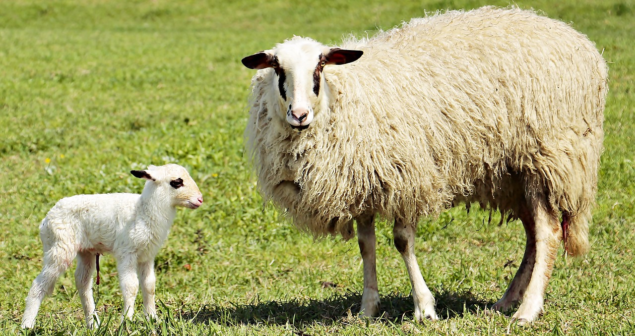A mother and baby sheep standing on top of a lush green field